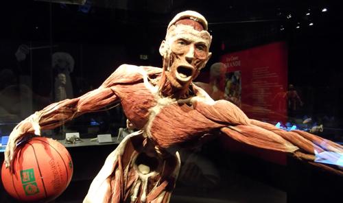 Body Worlds. Plastinazione finale. La mostra e tutte le foto