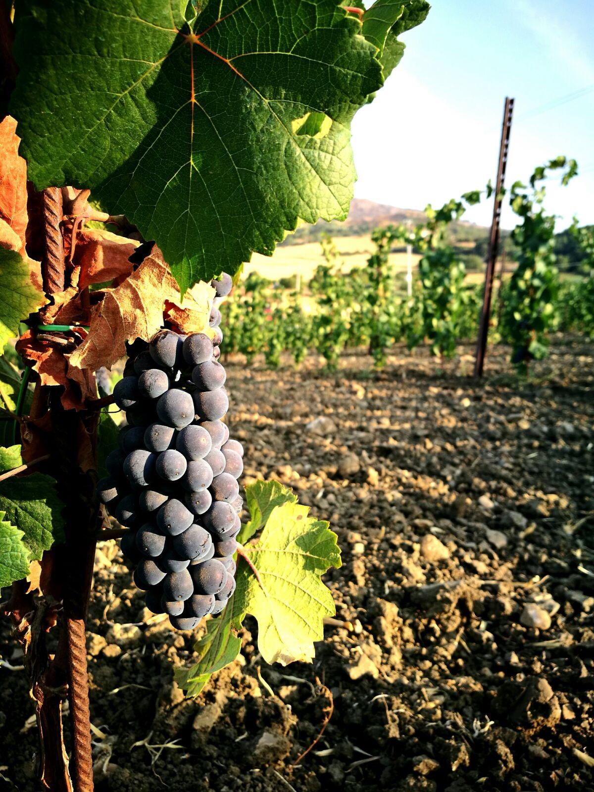 Il Syrah S'16 Bio di Tenuta San Giaime: l'autentico vino delle Madonie