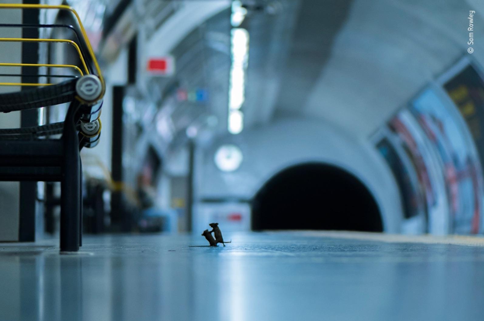 Due topi che si azzuffano nella metropolitana di Londra. La foto di cui tutti parlano
