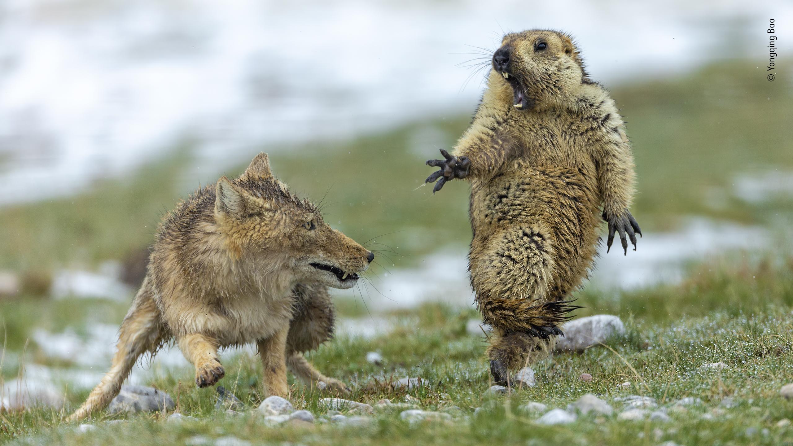Drammi e bellezze della natura selvaggia. La nuova edizione di Wildlife Photographer of the Year al Forte di Bard