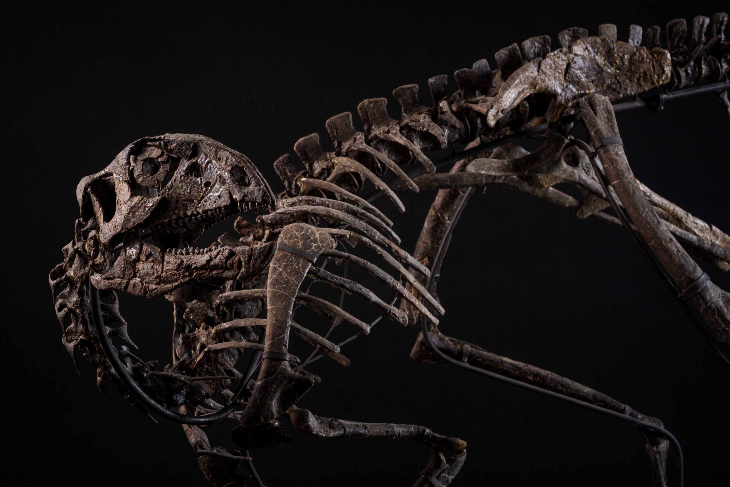 Preistoria record da Cambi: lo scheletro di Othnielosaurus incanta in asta