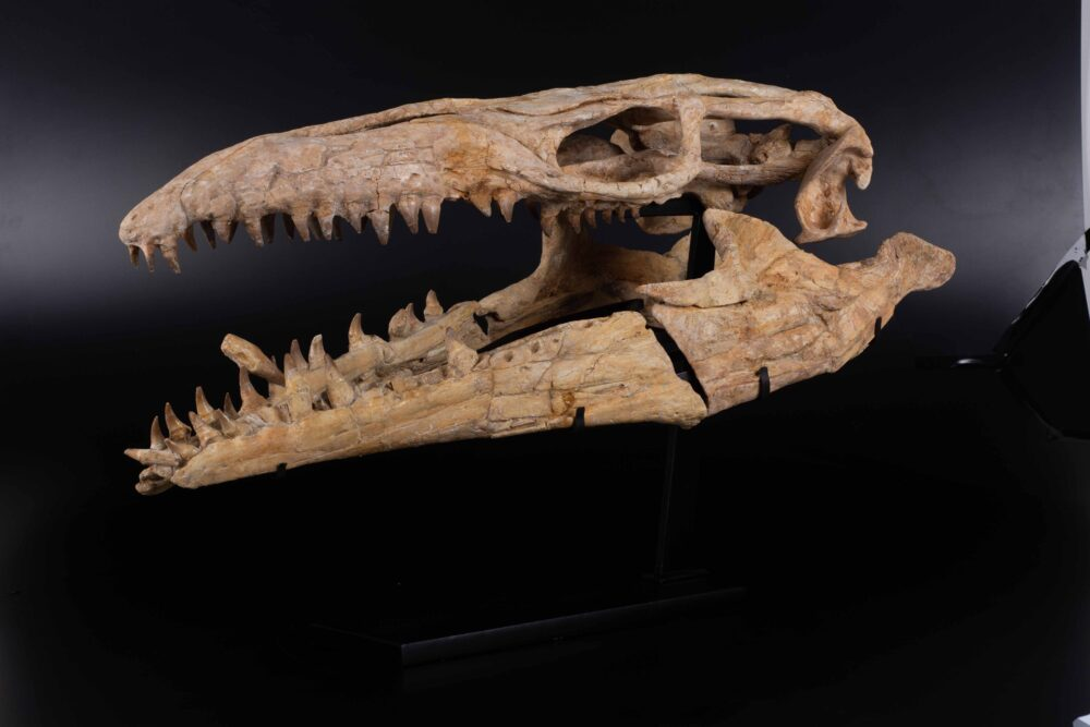 Cranio di mosasauro