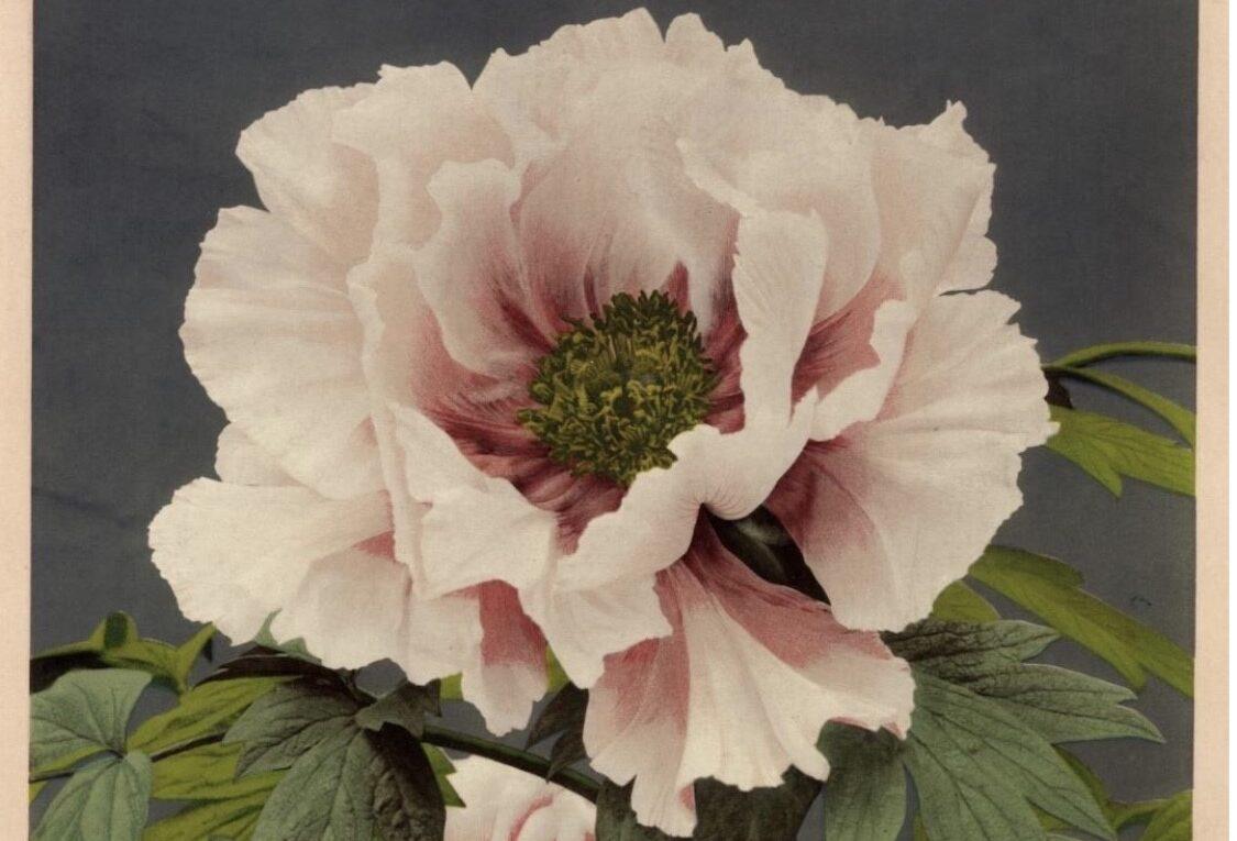 Magiche fioriture d'Oriente. Il fascino della botanica giapponese in scena a Milano