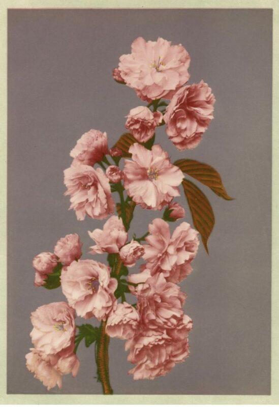 Ogawa Kazumasa, Ciliegio, 1896 Copyright © MUSEC / Fondazione Ada Ceschin e Rosanna Pilone