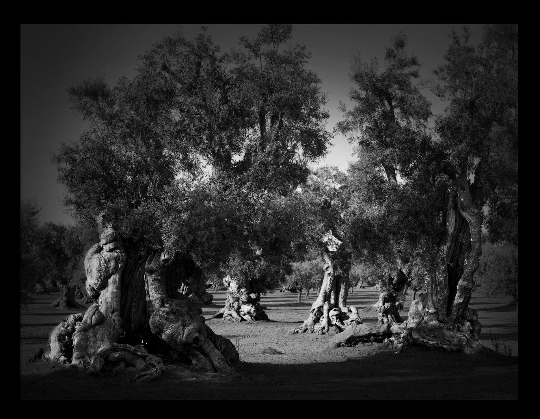 Ulivi di Puglia come vere e proprie opere d'arte. Il progetto fotografico di Francesco Bosso a Tricase