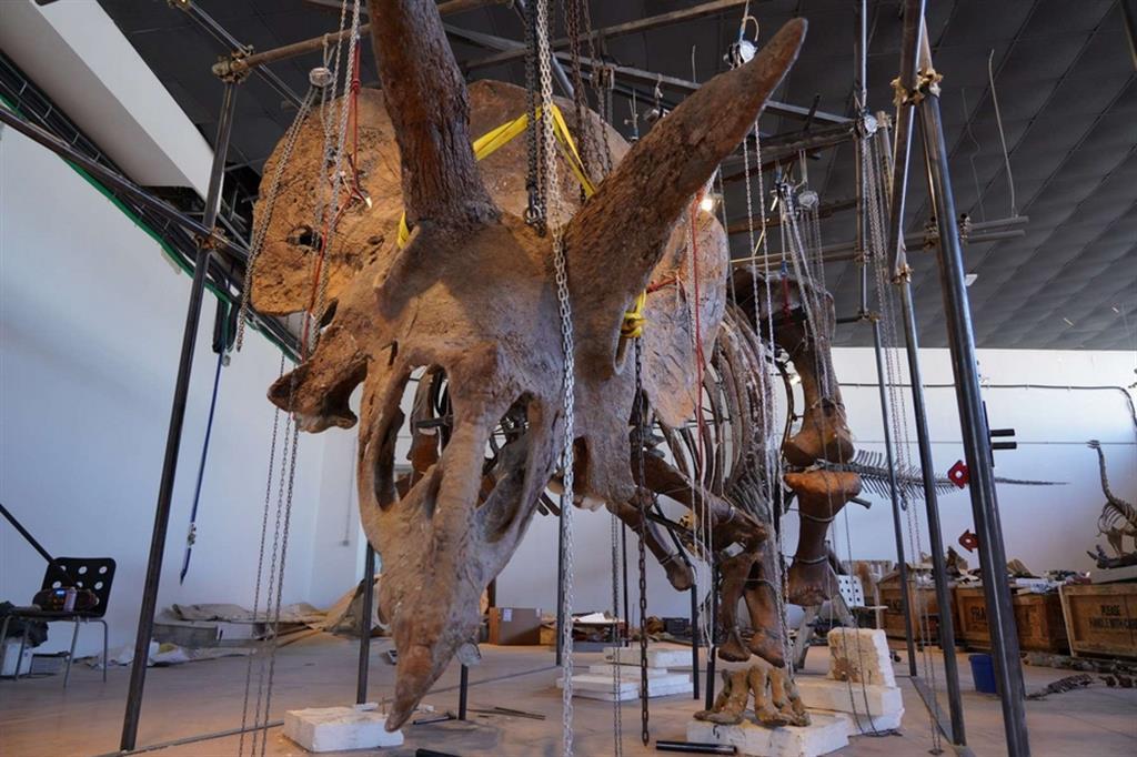 Big John, il più grande Triceratopo mai ritrovato esposto nel centro di Trieste