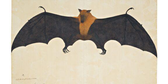 A Great Indian Fruit Bat or Flying Fox, From The Impey Album, Signed by Bhawani Das, Company School, Calcutta, circa 1778-82 (est. £300,000-500,000)