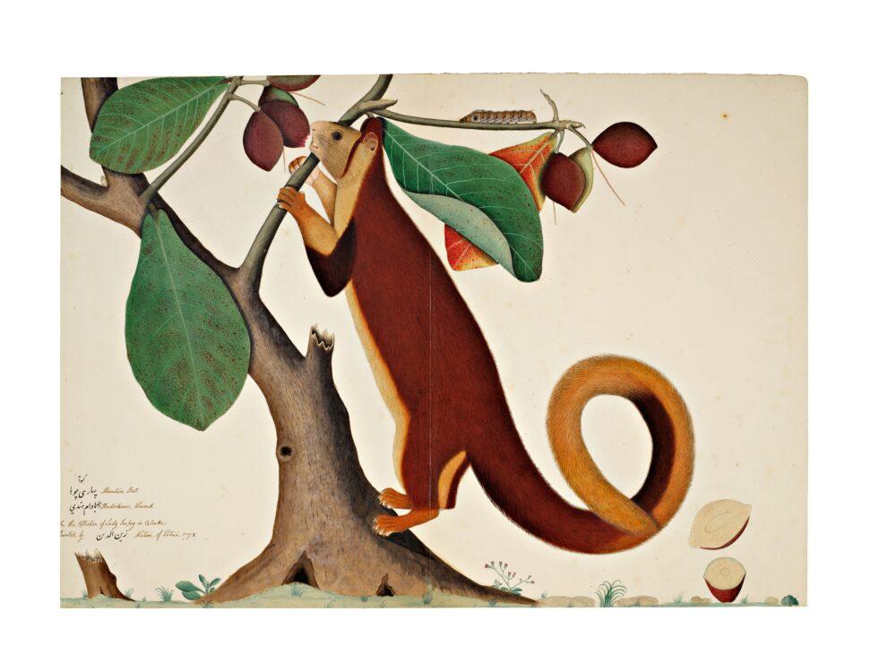 A Malabar Giant Squirrel in an Almond Tree, From The Impey Album, Signed By Shaykh Zayn Al-Din, Company School, Calcutta, Dated 1778 (est. £200,000-300,000)