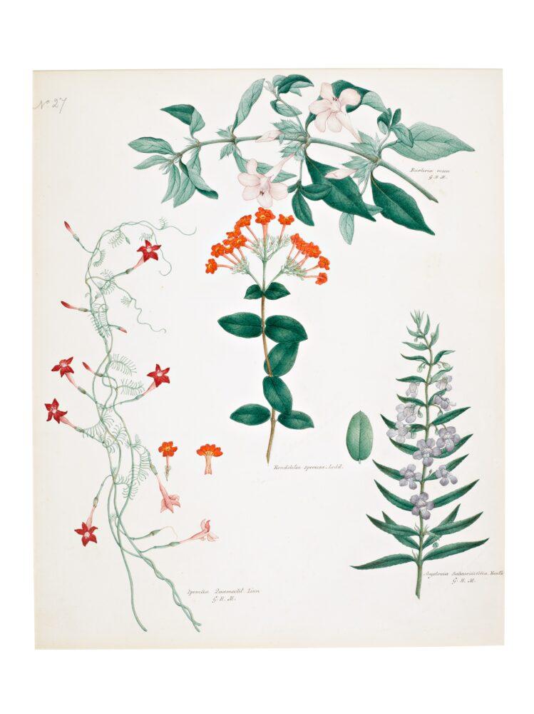 Two Botanical Studies by Rungia Raju, Company School, Madras, late 19th Century (est. £8,000-12,000)